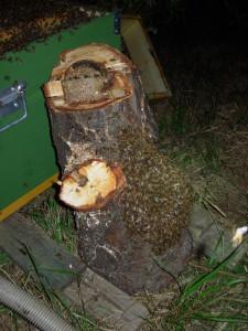 Alveare selvatico nel tronco cavo di un castagno selvatico